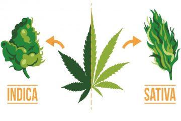 Sativa VS Indica - Differenze Cannabis