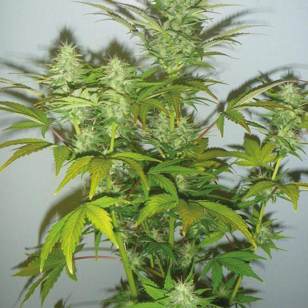 Amnesia Cbd - Pianta di Cannabis Light