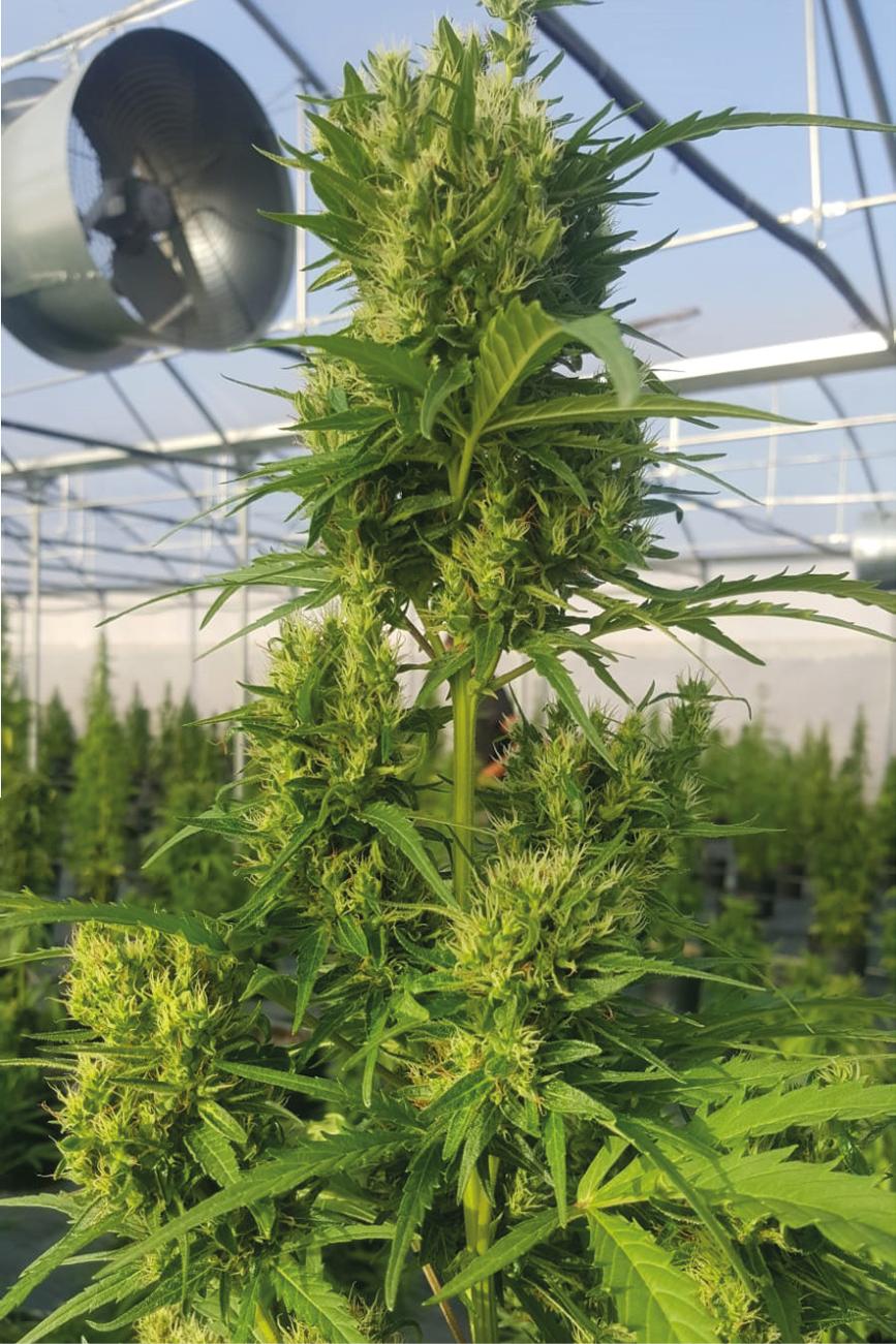Banana Hybrid - Pianta di Cannabis Light Legale CBD