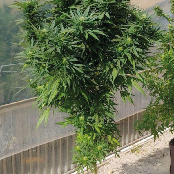 Green Poison - Pianta di Cannabis Sativa Legale - Vendita Online