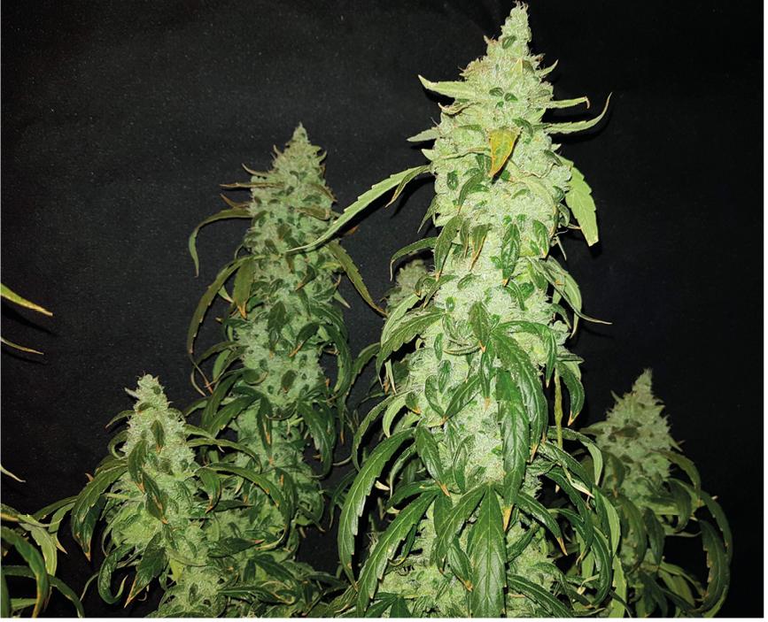 Silver Haze CBD - Piante e Talee di Cannabis Light